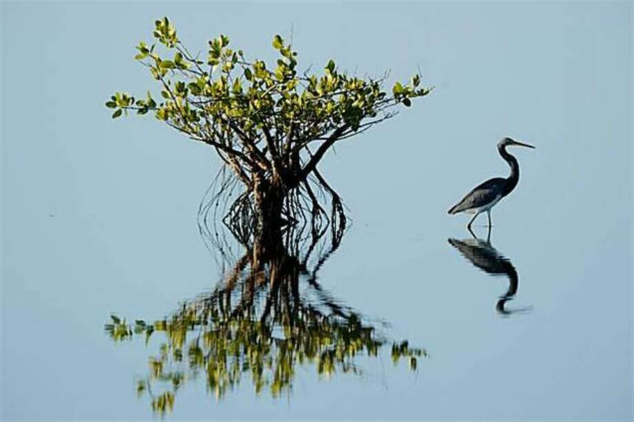 For all of our heron addicts: A tricolored heron wades in shallow water in the Merritt Island National Wildlife Refuge in Titusville, Fla. Photo: Stan Honda, AFP / Getty Images / AFP / Getty Images