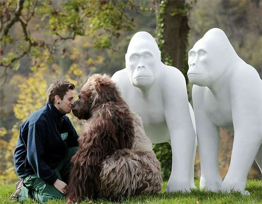 "Rubbing noses with Robo Gorilla: Simon Robinson, a real gorilla keeper, has a close encounter with Jambo, a fake gorilla, at the launch of the ""Wow! Gorillas"" project in Bristol, England. The interactive, animatronic ape was created as part of a mass public art event to celebrate Bristol Zoo Gardens' 175th birthday. Photo: Matt Cardy, Getty Images / Getty Images"