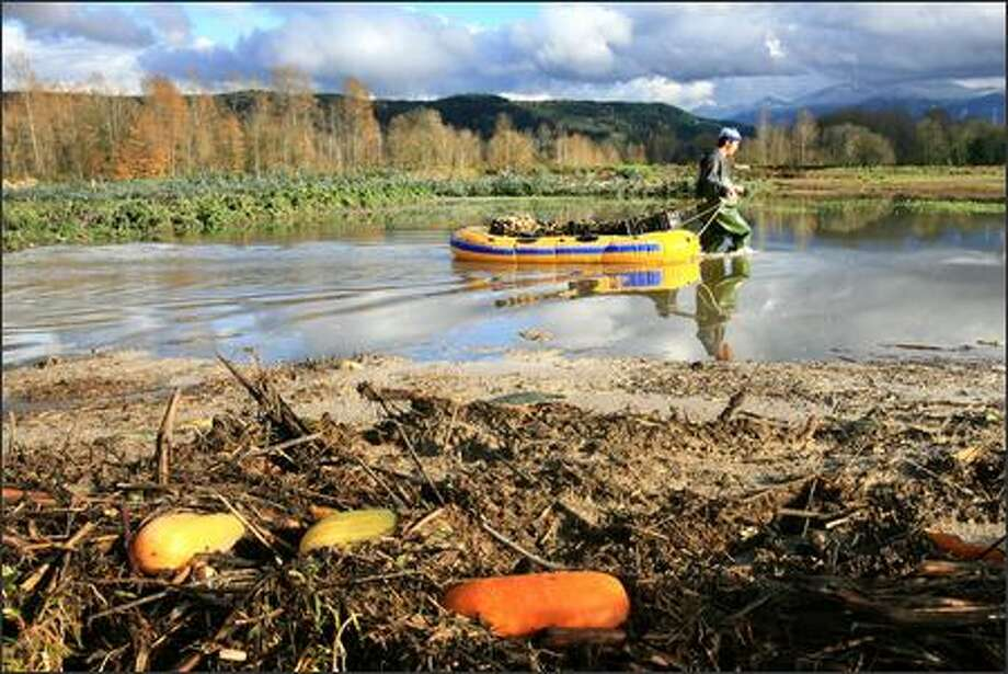 Farmers salvage flower bulbs damaged by the floodwaters of the Snoqualmie River near Fall City on Thursday. Photo: Dan DeLong, Seattle Post-Intelligencer / Seattle Post-Intelligencer