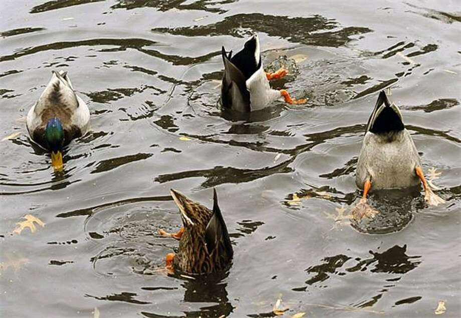 Meanwhile, at synchronized swimming practice:Someone's late on his butt-up dive in New York's Central Park pond. Photo: Timothy A. Clary, AFP / Getty Images / AFP / Getty Images