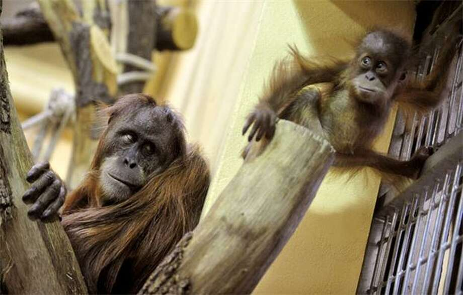Hang around:A mother Sumatra orangutan keeps an eye on her baby at the Budapest Zoo and Botanic Garden. Photo: Attila Kisbenedek, AFP / Getty Images / AFP / Getty Images