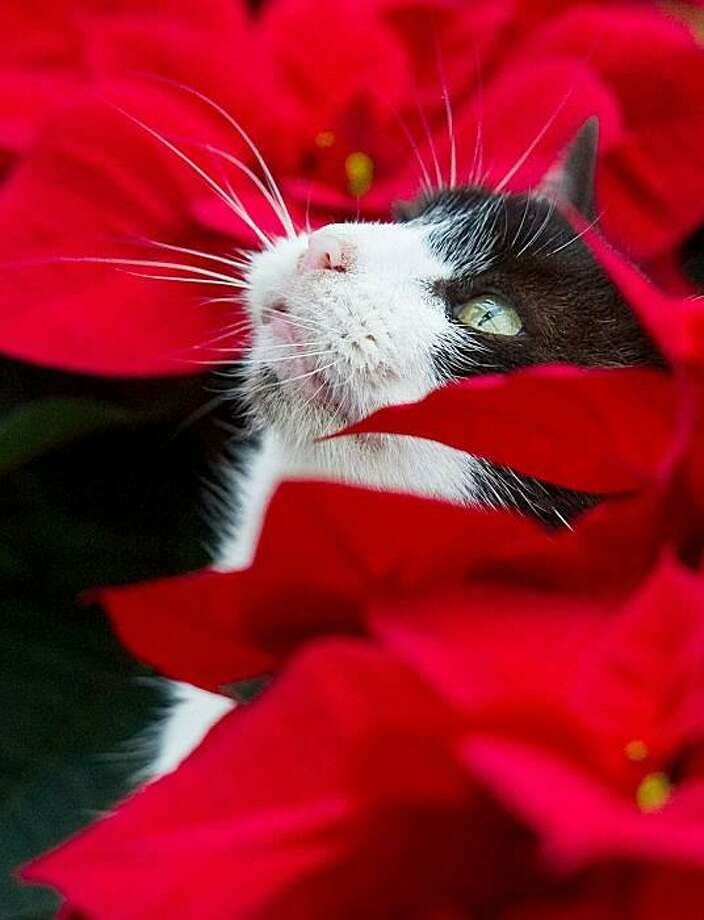Wrap me up for Christmas: A cat sits sits amid of poinsettia plants in a greenhouse in Beeskow, Germany. Photo: Patrick Pleul, AFP / Getty Images / AFP / Getty Images