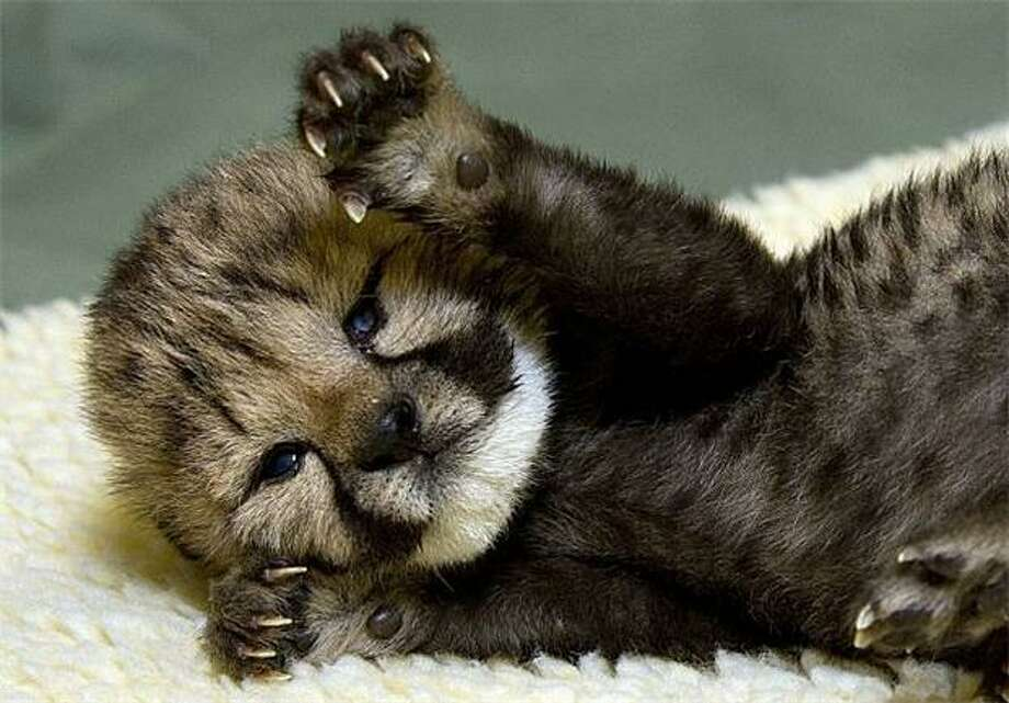 I am TOO ferocious! See these claws? They could tear you limb from limb! And my teeth are like daggers! Or they will be once they come in. Until then, be prepared for some fearsome gumming action.... of course, I may spare you a grisly death if you give me a belly rub. (Ten-day-old cheetah cub, San Diego Zoo.) Photo: Ken Bohn, AFP / Getty Images / AFP / Getty Images