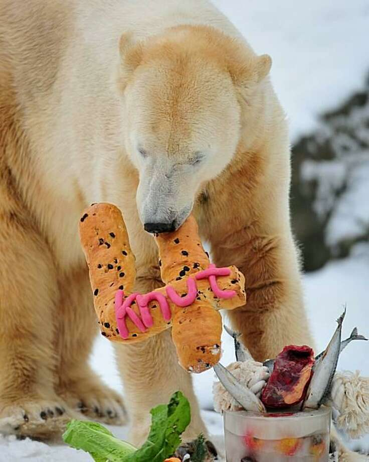 All '4' for one:On his fourth birthday, Knut - the world's most famous polar bear - digs into his cake of fish, raw meat, fruit, salad and pastry at the Tiergarten Zoo in Berlin. Photo: Johannes Eisele, AFP / Getty Images / AFP / Getty Images
