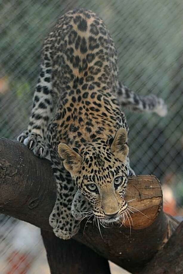 Beauty with big paws:A 7-month-old leopard - more sleek adolescent than cuddly cub - climbs a platform of logs in its enclosure at Indroda Nature Park in Gandhinagar, India. Photo: Sam Panthaky, AFP / Getty Images / AFP / Getty Images