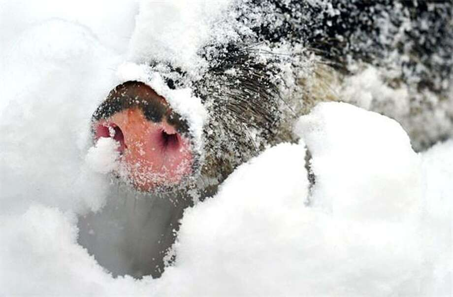 The snout rootingthrough the snow for something to eat at the Berlin Zoo belongs to a White-Lipped Peccary. Photo: Johannes Eisele, AFP / Getty Images / AFP / Getty Images