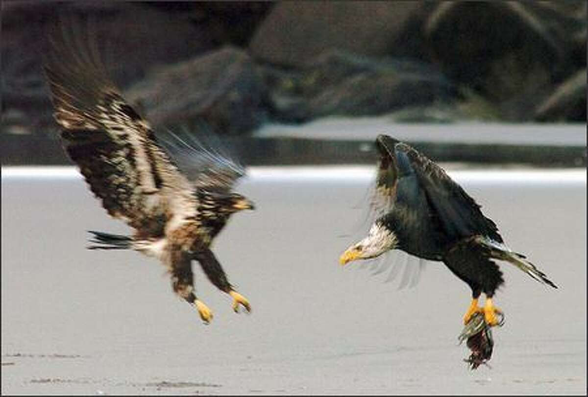 A mature bald eagle tries to flee with the carcas of a salmon as an immature bald eagle takes exception on a beach near the north jetty at Cape Disappointment State Park in Ilwaco.