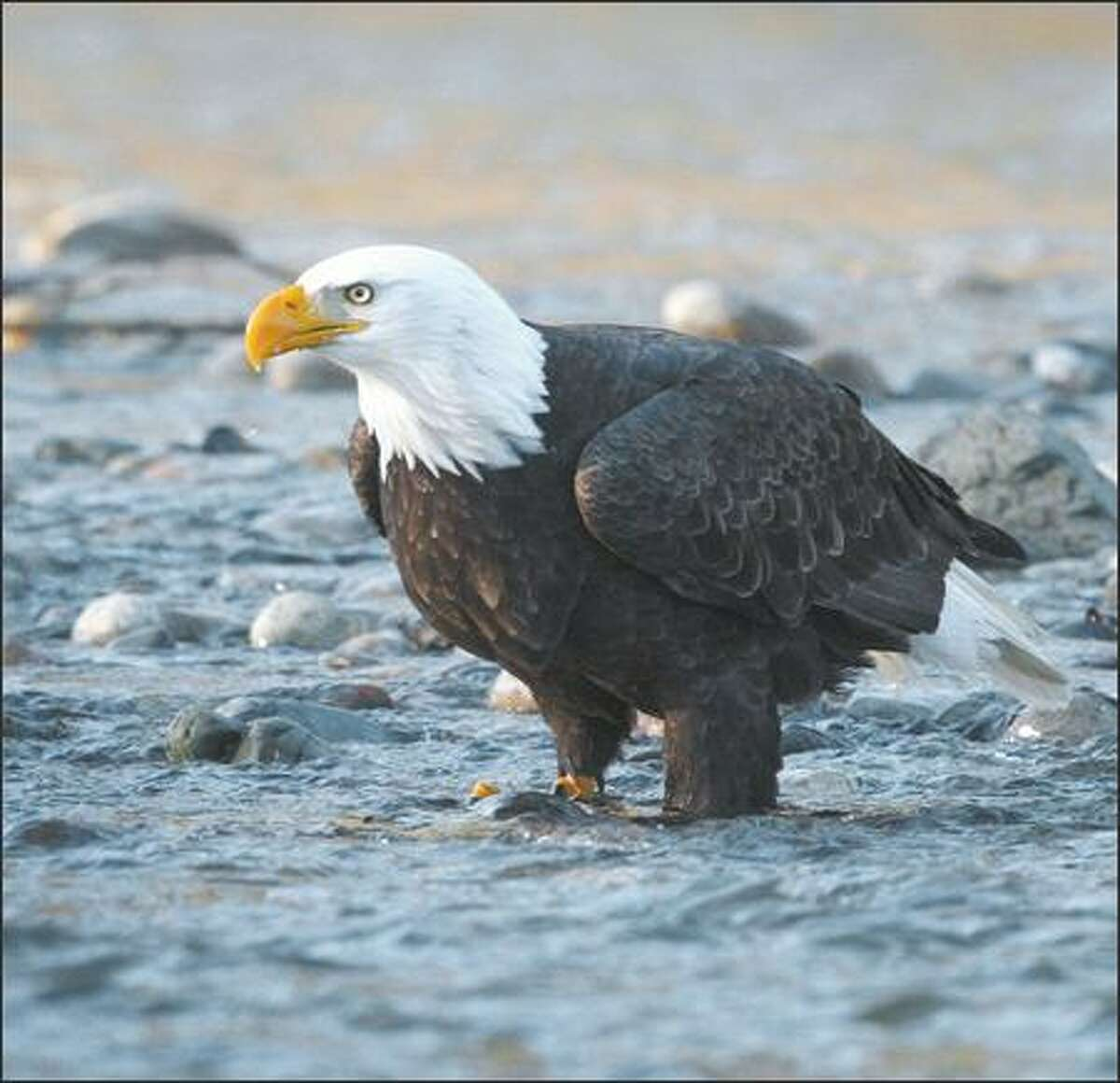 A wintering bald eagle looks up while feeding on chum salmon along the Skagit River.