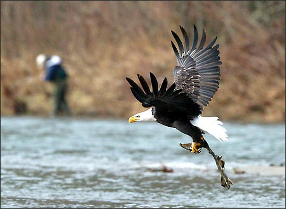 As a fisherman checks his line, a bald eagle takes flight with the remains of a salmon from the Skagit River near Rockport yesterday. But biologists are concerned that fishermen and tourists lured to the area, which each winter attracts the largest concentration of eagles in the lower 48 states, are disrupting eagles' feedings. Photo: Gilbert W. Arias, Seattle Post-Intelligencer / Seattle Post-Intelligencer