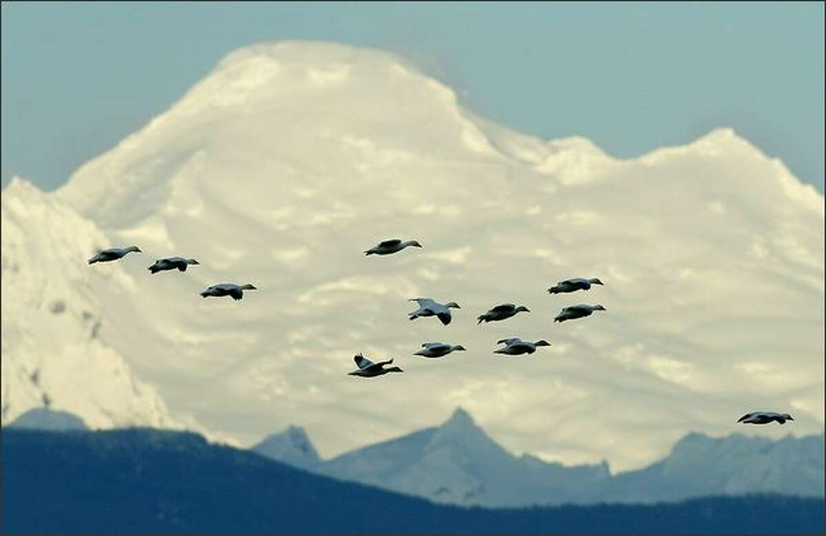 As Mount Baker looms behind them, snow geese descend to a farm field in a Skagit County near Mount Vernon, WA.