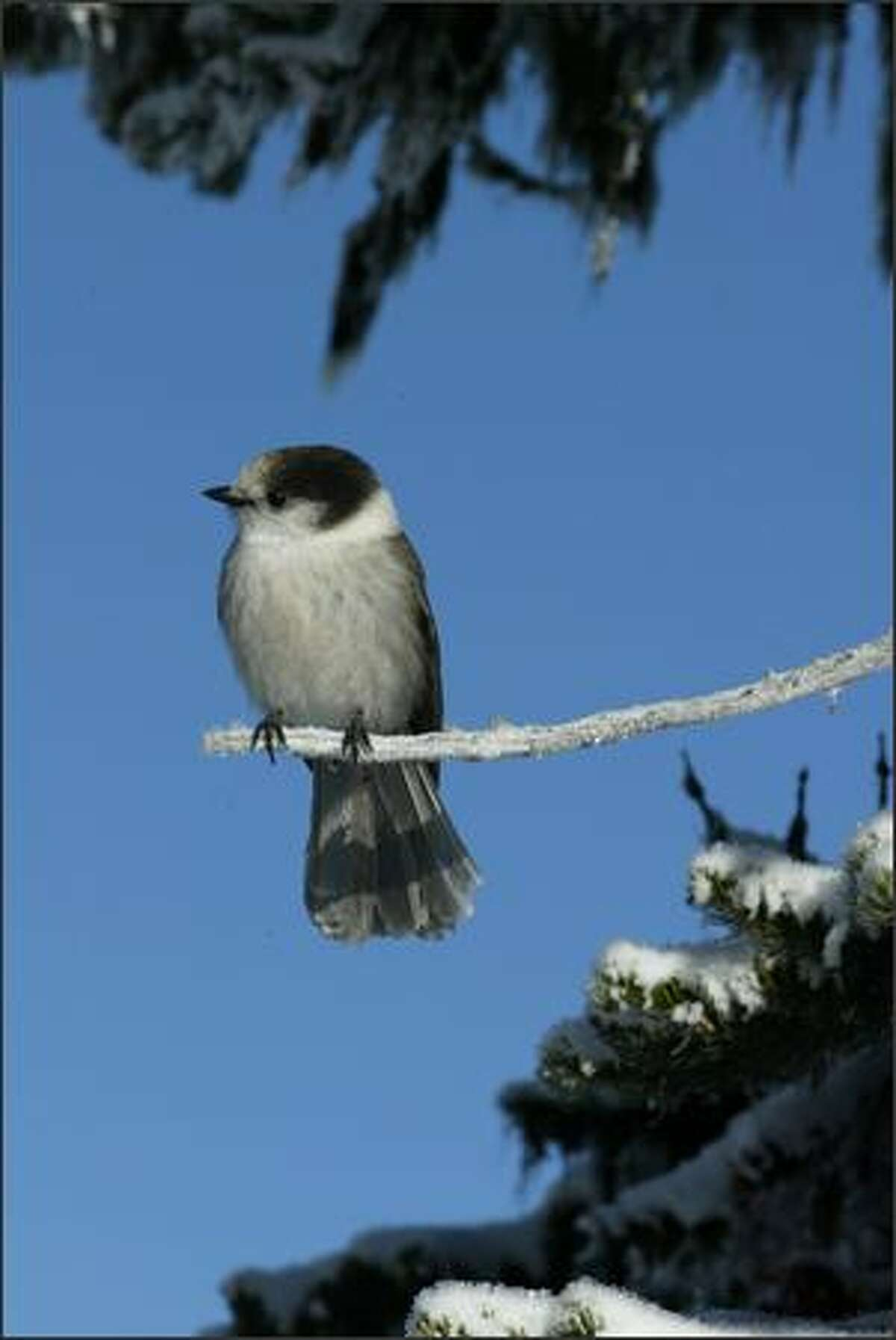 A watchful gray jay keeps his eyes peeled for any morsels dropped by snacking skiers.