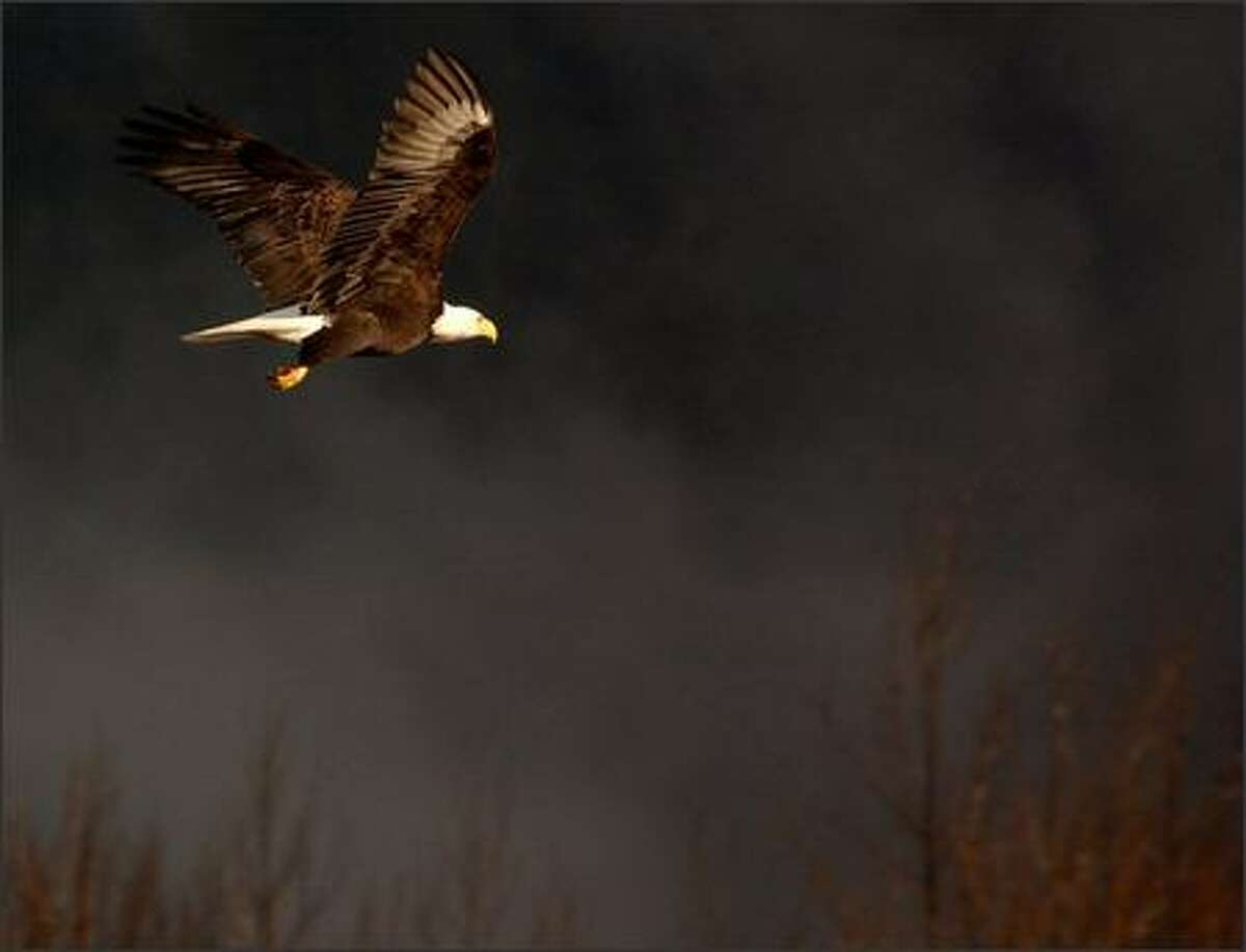 A bald eagle soars over the Squamish River. Visitors this time of year are assured of amazing glimpses of the birds.