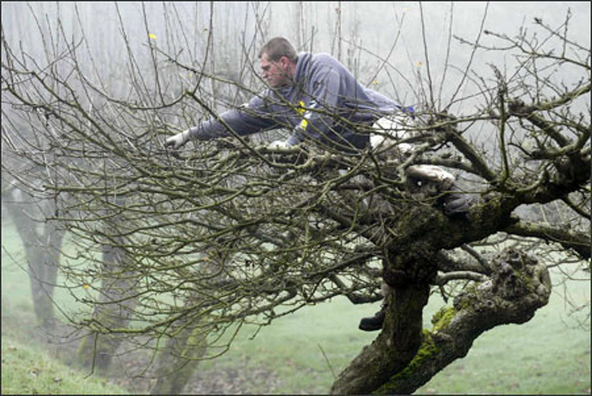 Jesse Browne prunes an apple tree in the fog at his parents' home on Vashon Island.
