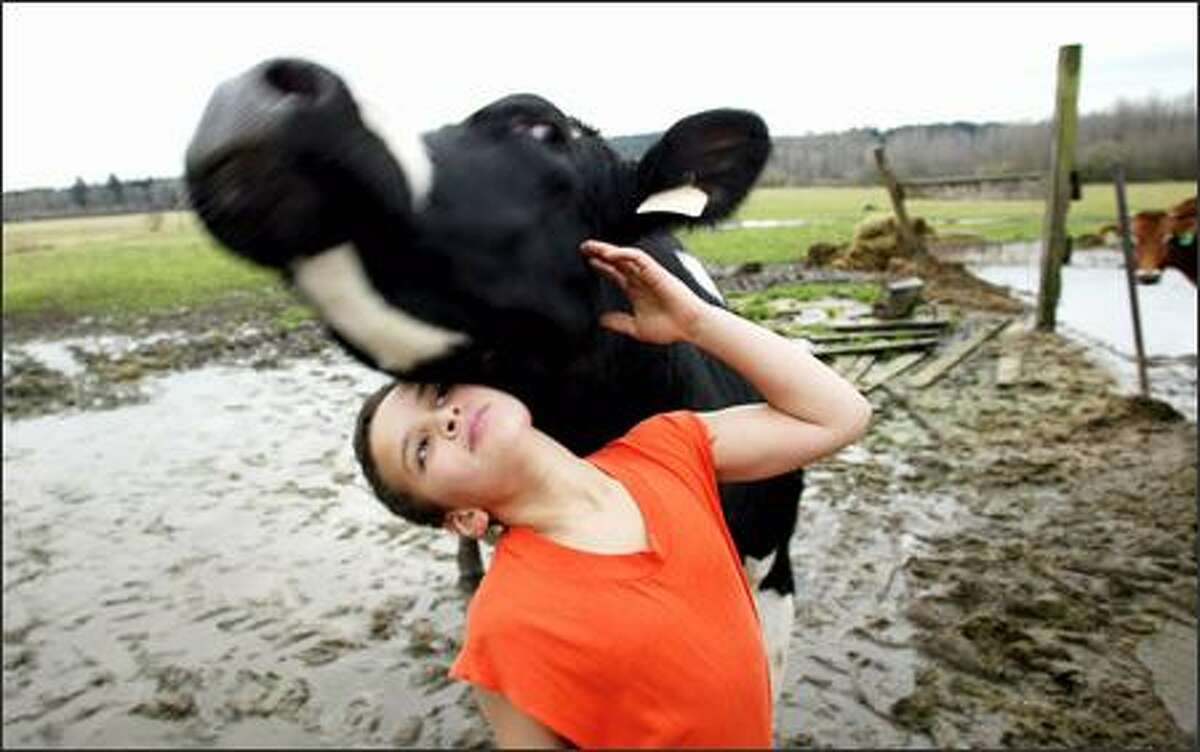 Samuel Estrella, 11, gets a playful nudge from Domino, one of the cows owned by his family business, Estrella Family Creamery in Montesano.