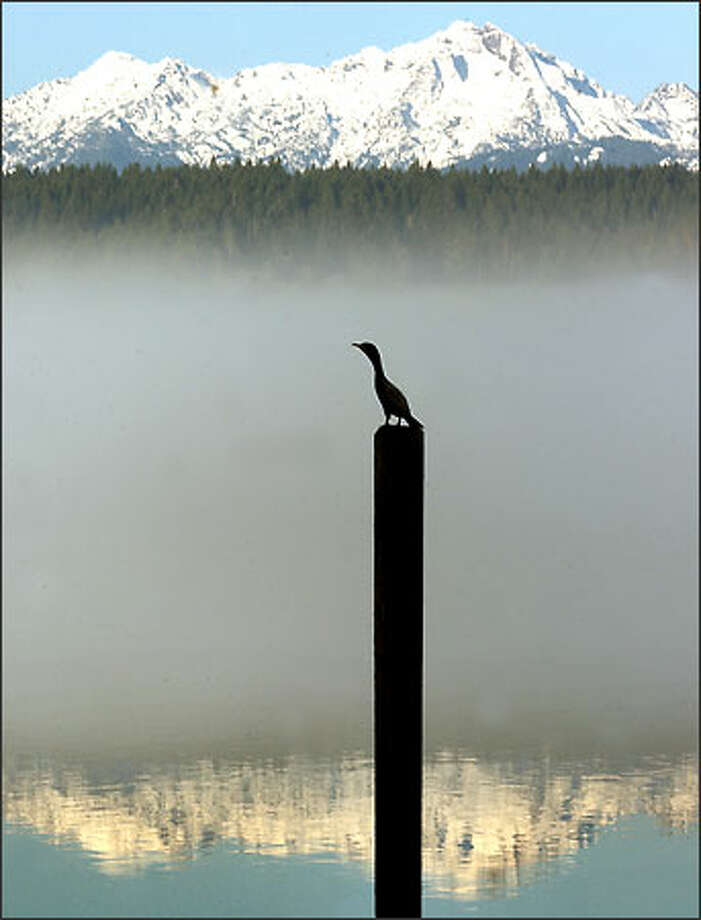 Seemingly oblivious to pollution threats in Hood Canal, a cormorant rests on a piling in the south canal area with the Olympics as backdrop. Photo: Jeff Larsen, Seattle Post-Intelligencer / Seattle Post-Intelligencer