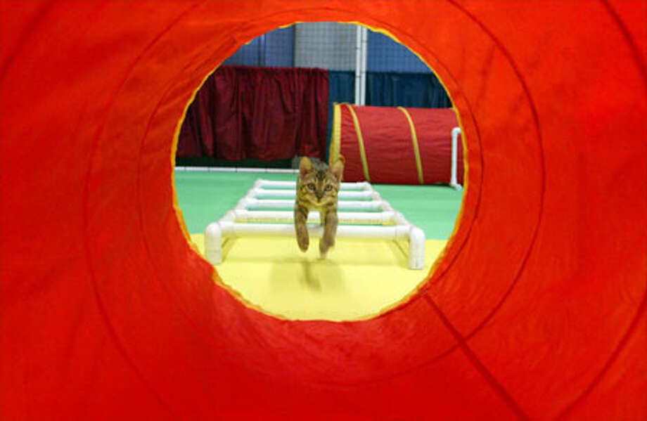 Arianna, a 4-month-old Bengal domestic, takes a test run through the cat agility trial course at Seattle Center yesterday as part of the My Furry Valentine show. Photo: Mike Urban, Seattle Post-Intelligencer / Seattle Post-Intelligencer