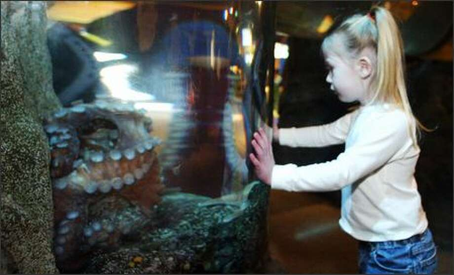 Madelyn Hamblen takes a close-up look at Mikala the octopus at the Seattle Aquarium. To celebrate Valentine's Day, staff at the Aquarium tried to coax their two resident octopuses into a blind date of sorts. Photo: Gilbert W. Arias, Seattle Post-Intelligencer / Seattle Post-Intelligencer