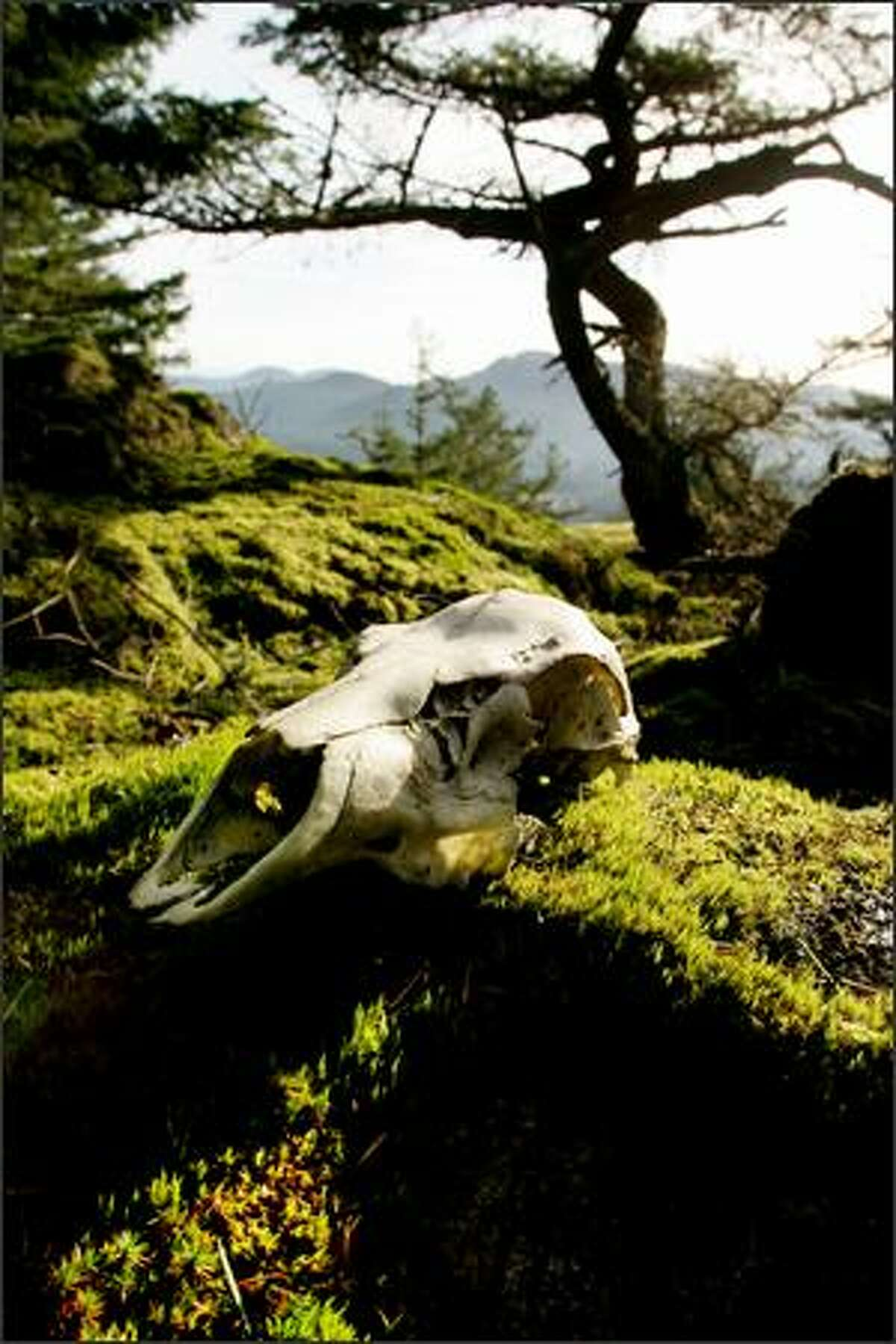 The skull of a young deer rests on a moss covered rock at one of the scenic overlooks from the Turtelback Mountain Trail on Orcas Island.