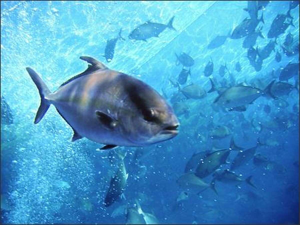 Kona Kampachi are grown in 200 feet of water a half mile off the cost of Kona on the Big Island in Hawaii.