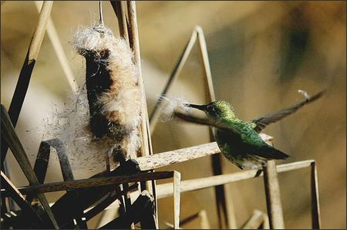 A female Anna's hummingbird collects cattail fluff to line its nest Thursday at Green Lake in Seattle.