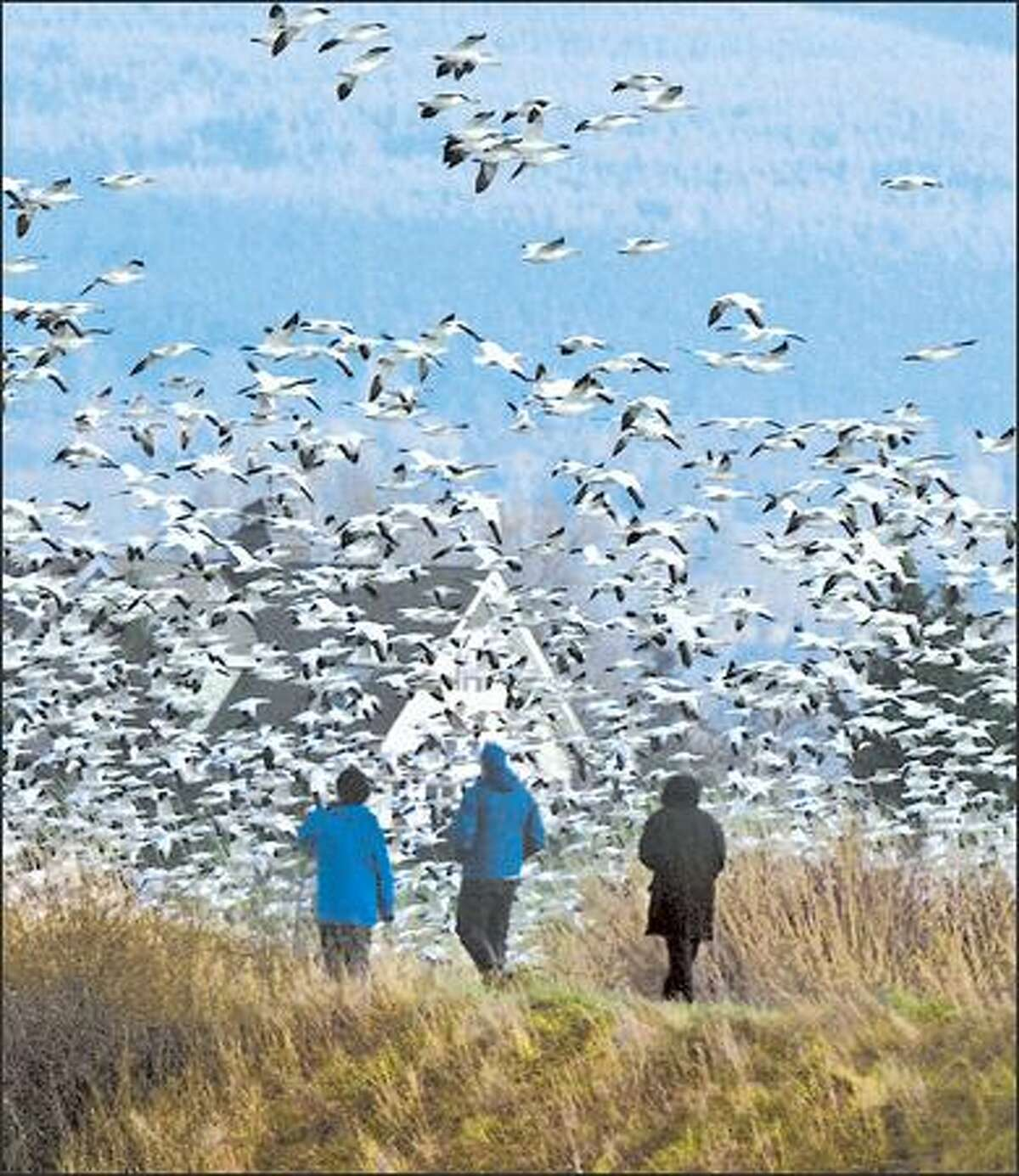Snow Geese take flight from a fox in front of birdwatchers on Fir Island.