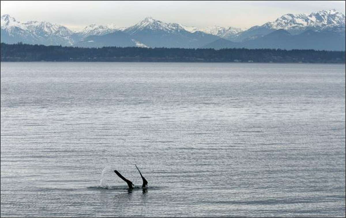 Dave Francis dives near Shilshole Marina in search of nesting lingcod and other underwater sights while snorkeling in Seattle. The Olympic Mountains are in the background.