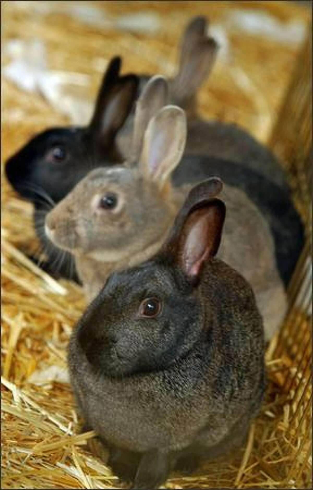 Four Woodland Park female rabbits await their fate in a holding pen at Magnuson Park after they were captured Tuesday.