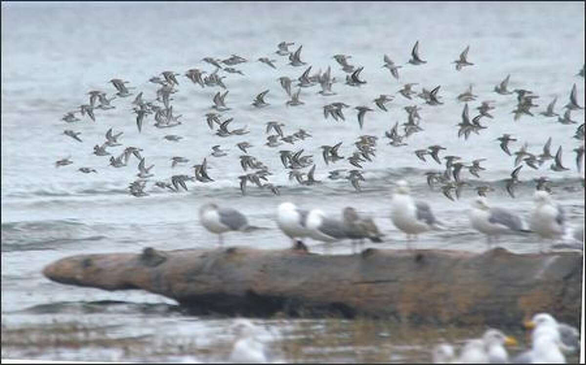 Sandpipers take flight at Rathtrevor Beach Provincial Park in Parksville.