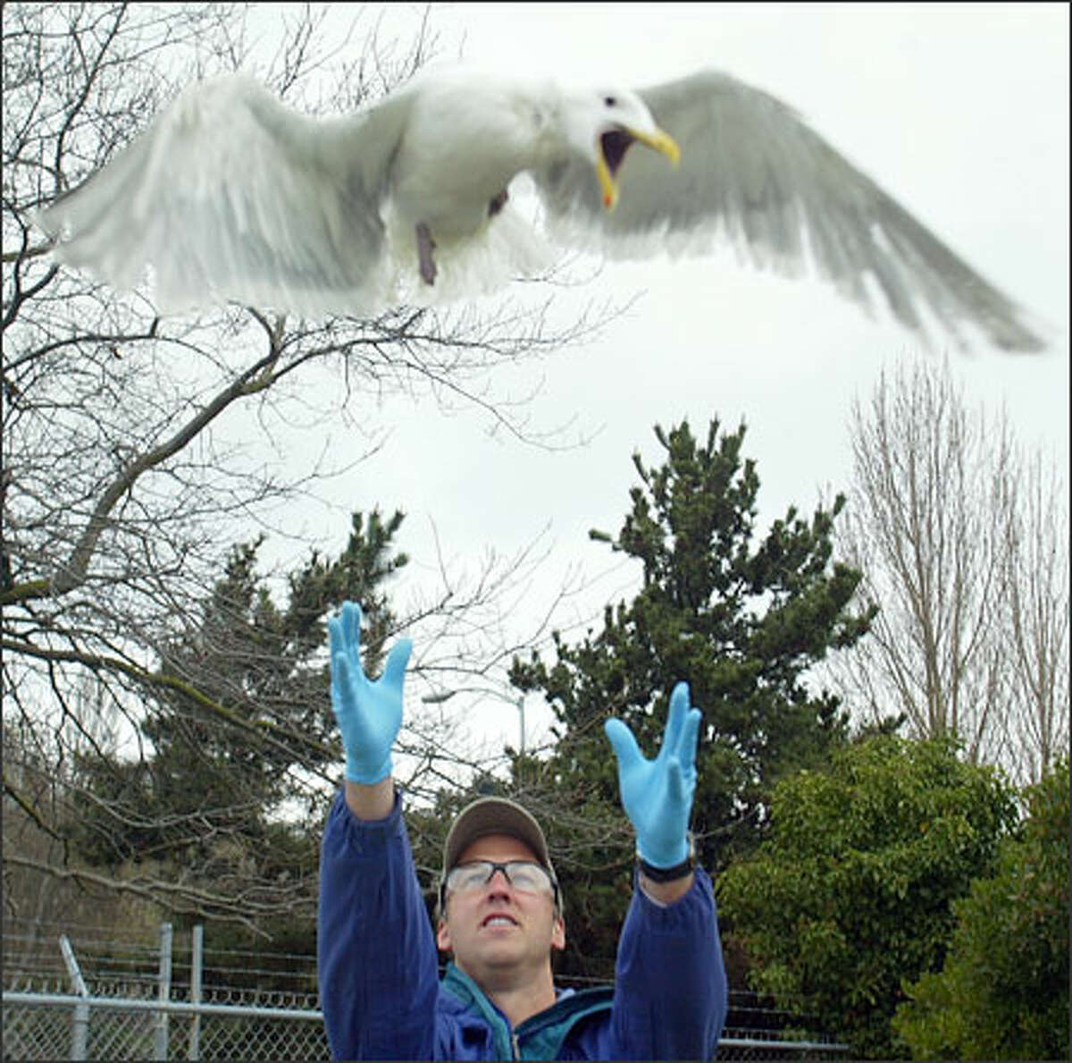 Joseph Gaydos, regional director of the SeaDoc Society, frees a sea gull captured off the Elliott Bay Marina to be examined for research. The society is conducting a regionwide study to learn more about marine wildlife and its role, if any, in the transmission of the diseases Cryptospiridum parvum and Giardia lamblia.