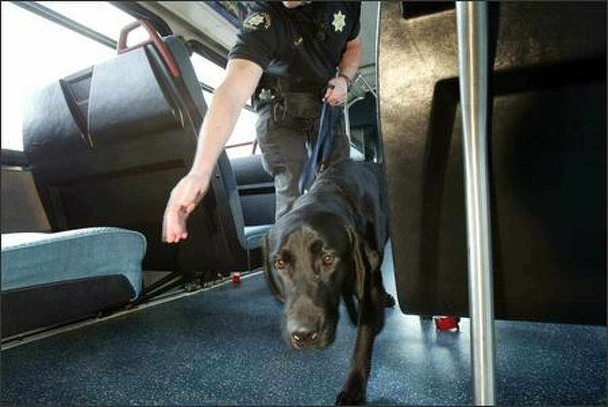 Stevie, the new bomb sniffing dog, demonstrates how he and his partner, Deputy Tim Morgan, will patrol the Metro buses during a photo op in Seattle.
