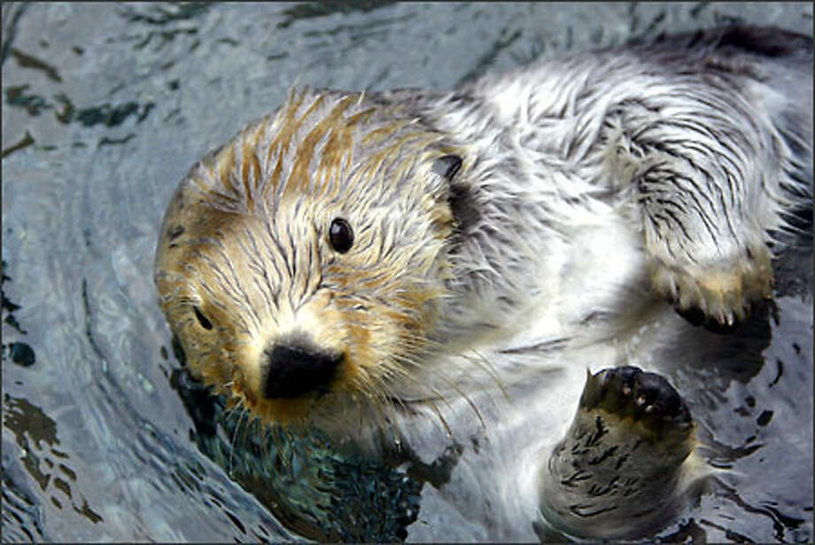 Kodiak is one of two sea otters brought here after being rescued from the Exxon Valdez spill. Photo: Karen Ducey, Seattle Post-Intelligencer / Seattle Post-Intelligencer