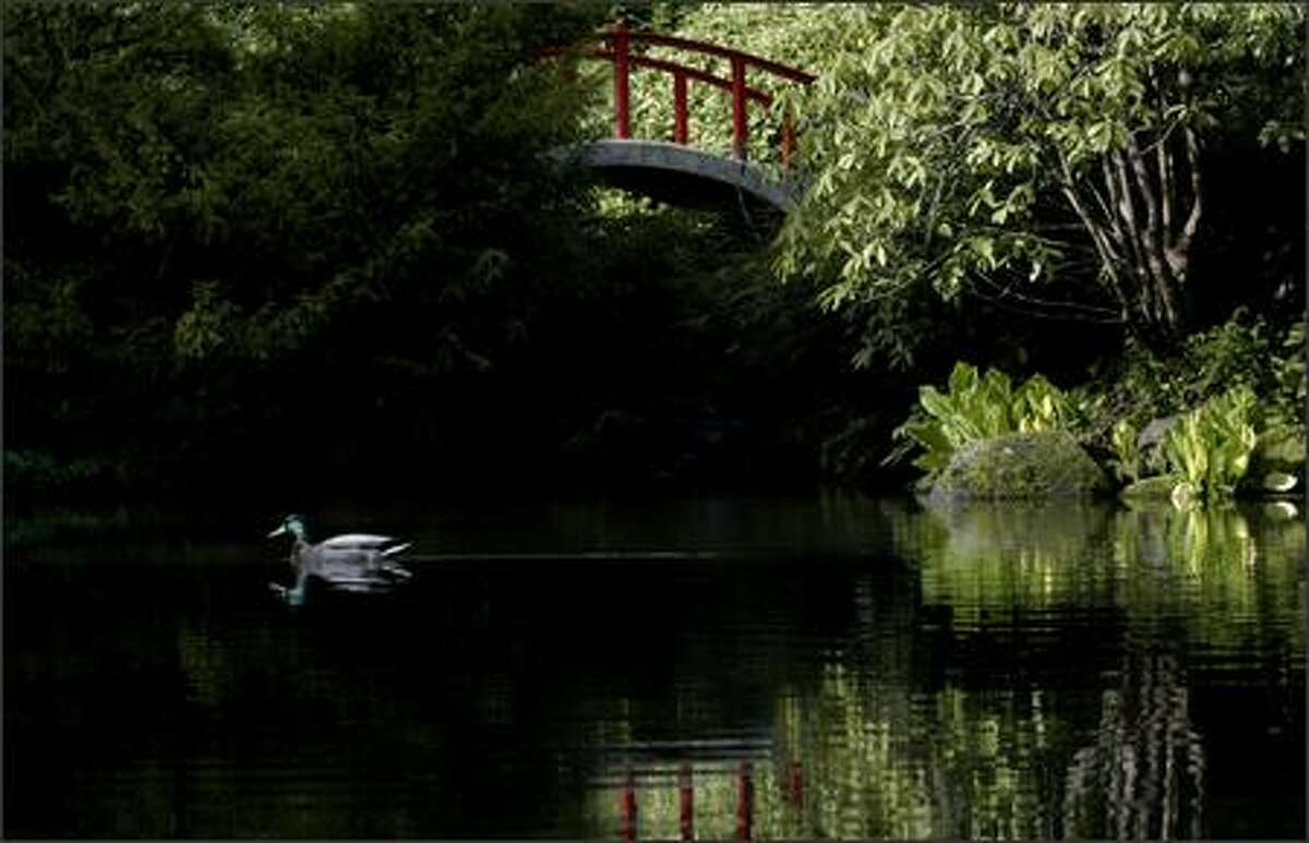 A duck glides across a pond in Kubota Garden, a public garden owned by the City of Seattle and maintained by the Department of Parks & Recreation in South Seattle Tuesday.