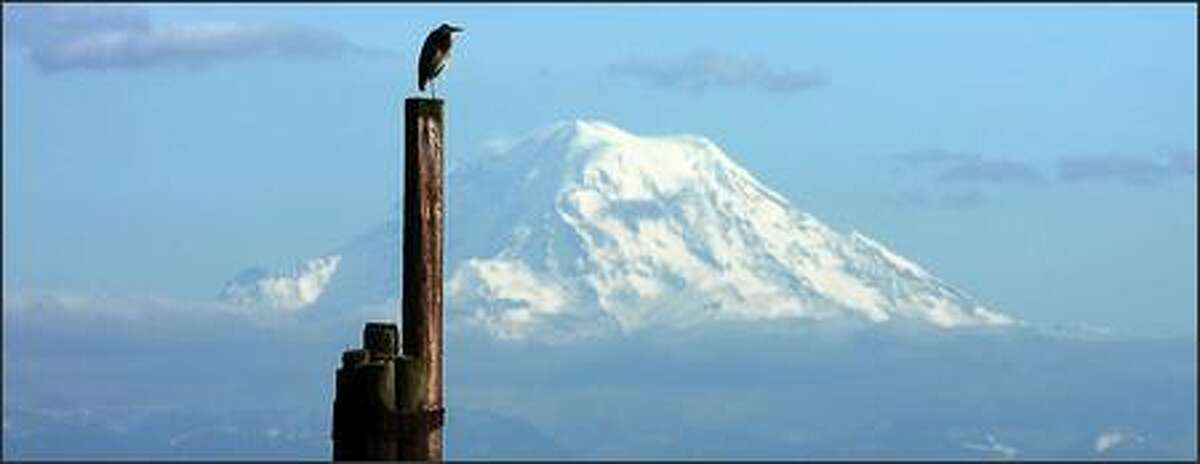 Higher than a Mountain Top: A Blue Heron, framed by Mount Rainier, stands on a piling at the south end of Maury Island, part of Vashon Island.