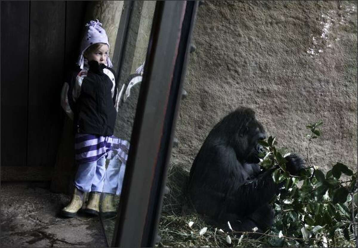 Eukia Lemaster, 6, keeps an eye out for the newly-named gorilla baby, Uzumma, as a grown female, Jumoke, eats leaves close by at Woodland Park Zoo.
