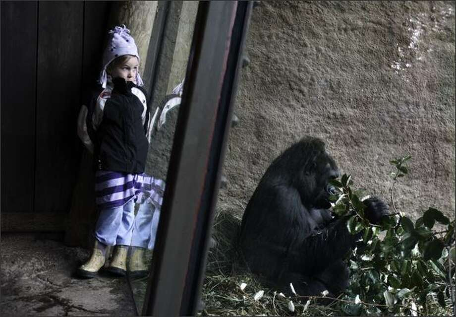 Eukia Lemaster, 6, keeps an eye out for the newly-named gorilla baby, Uzumma, as a grown female, Jumoke, eats leaves close by at Woodland Park Zoo. Photo: Andy Rogers, Seattle Post-Intelligencer / Seattle Post-Intelligencer