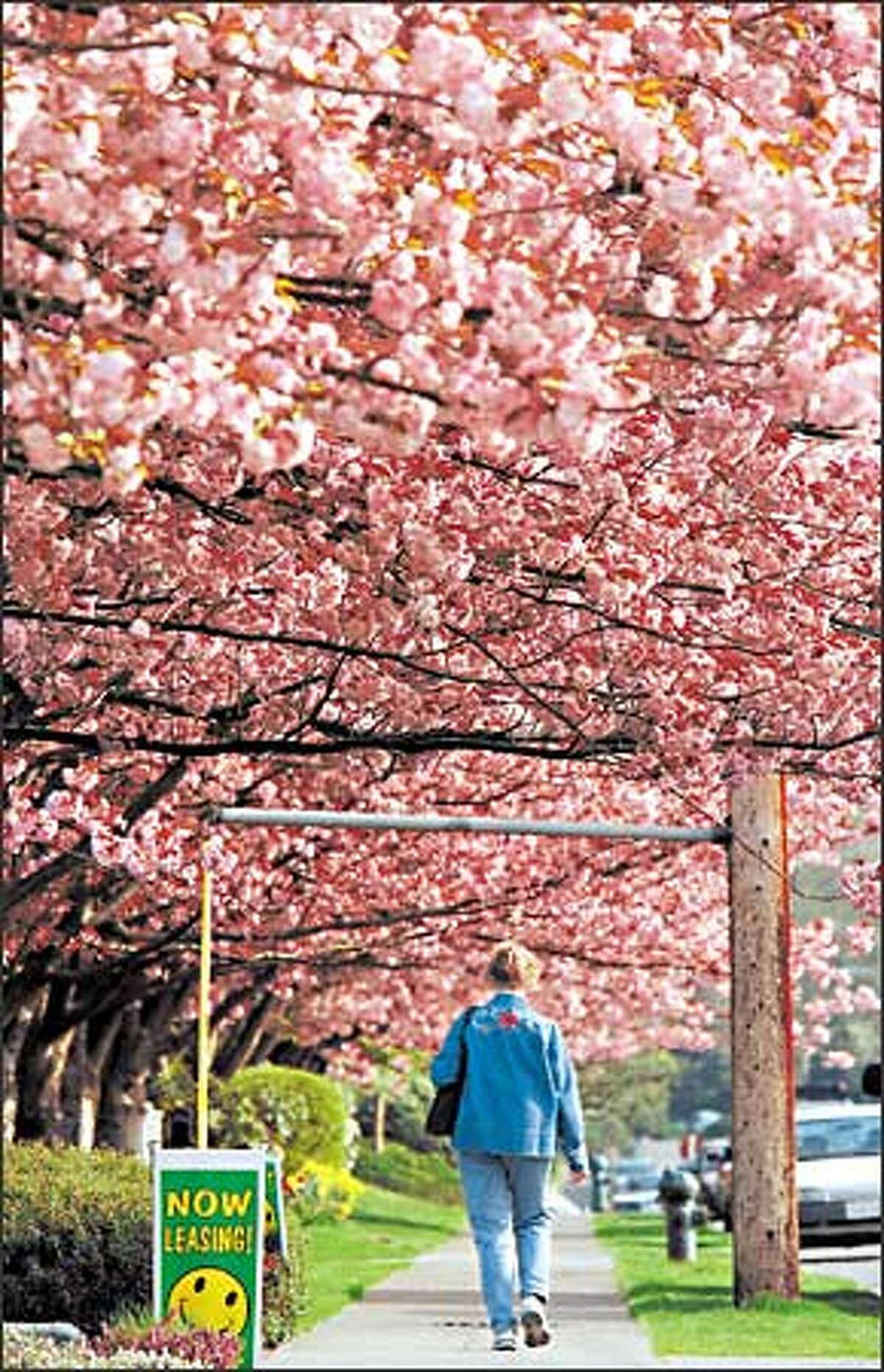 A heavy mantle of cherry blossoms forms a picturesque arcade for a woman walking along 40th Avenue Northeast just north of Sand Point Way, near Children's Hospital and Regional Medical Center.