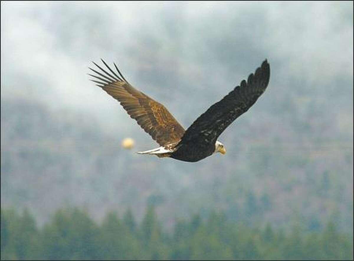 A bald eagle flies among the power lines at Bonneville Dam.