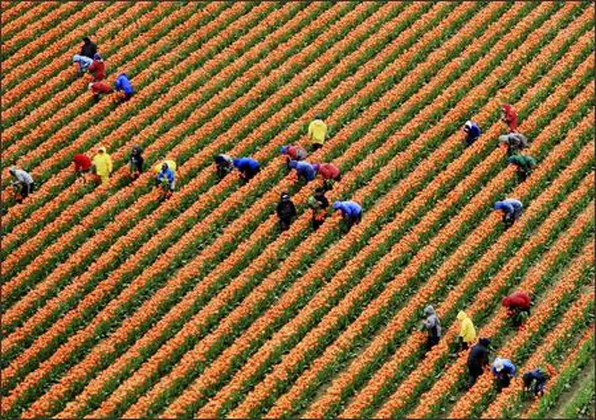 The tulip fields near Mount Vernon on Friday.