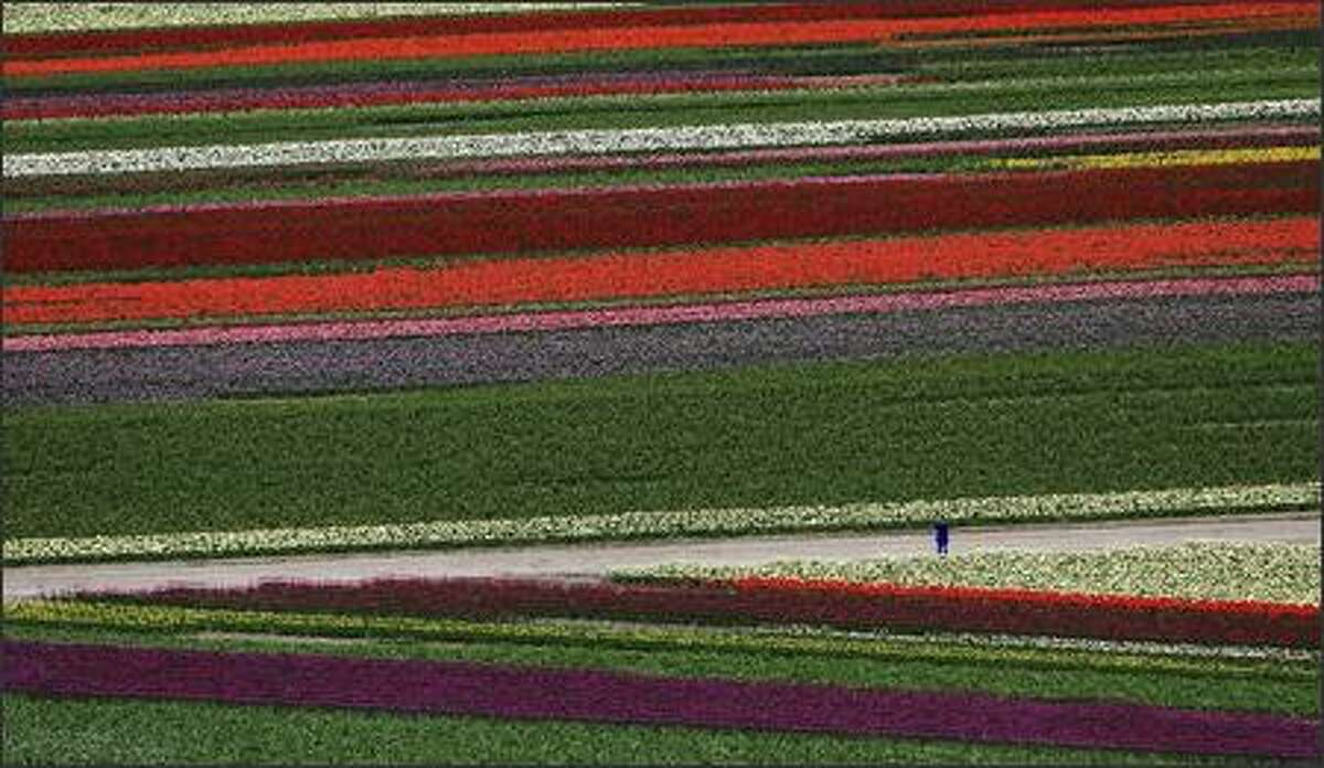 In an aerial view, a person pauses Friday to take a photo in the fields of color at the Skagit Valley Bulb Farm's Tulip Town near Mount Vernon. Flights are available with Sky Fly'n Helicopter on Fridays, Saturdays and Sundays until April 27. The Skagit Valley Tulip Festival, in its 24th year, continues through April 30.