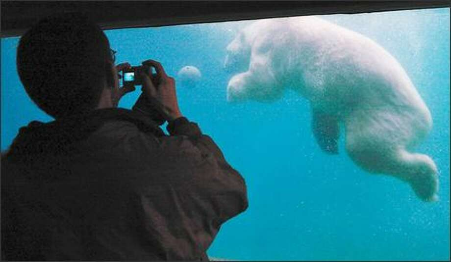 A polar bear, playing with a large rubber ball, provides a photo opportunity for visitors at the Point Defiance Zoo & Aquarium. Photo: Jeff Larsen, Seattle Post-Intelligencer / Seattle Post-Intelligencer