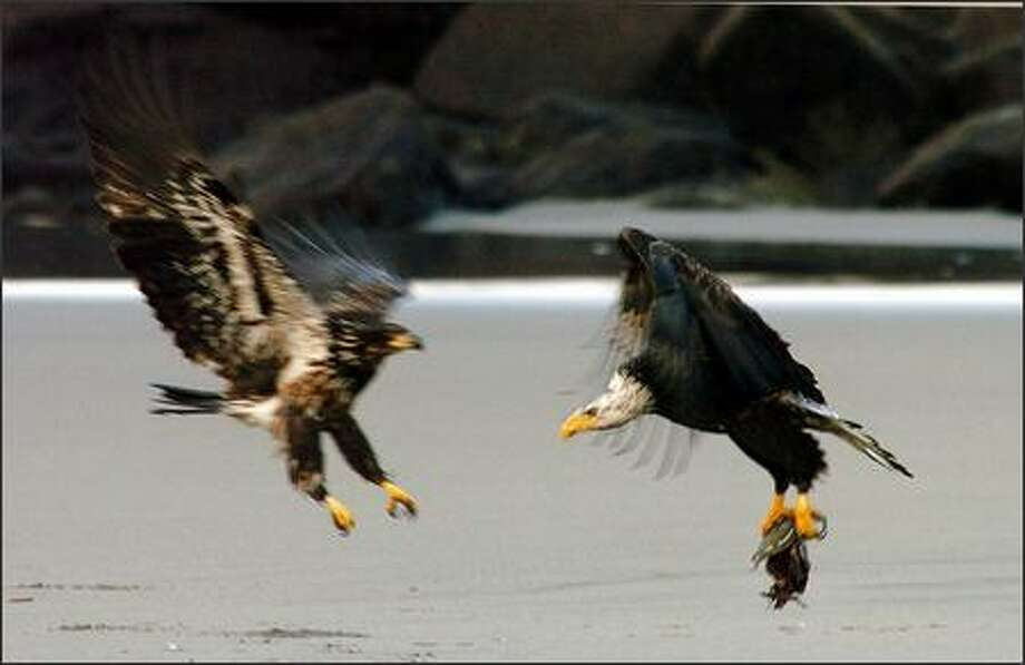 A pair of bald eagles tangle over a salmon at Waikiki Beach ner the North Jetty. Photo: Jeff Larsen, Seattle Post-Intelligencer / Seattle Post-Intelligencer