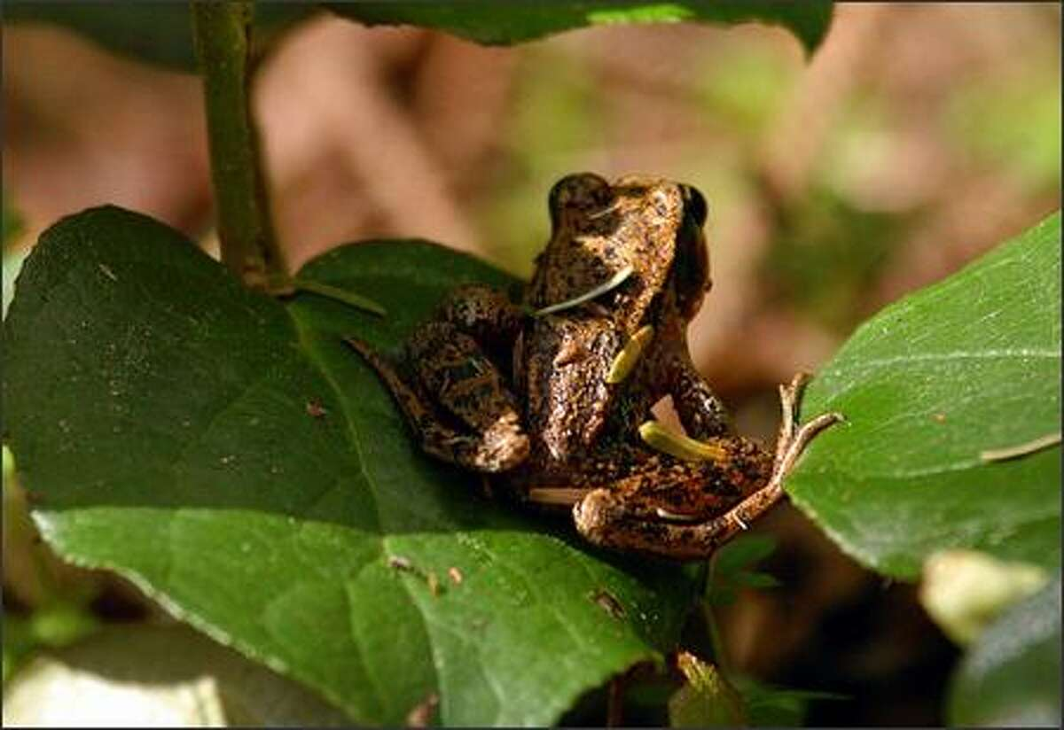A small frog tries to camouflage himself among some leaves along the North Head Trail in Cape Disappointment State Park.