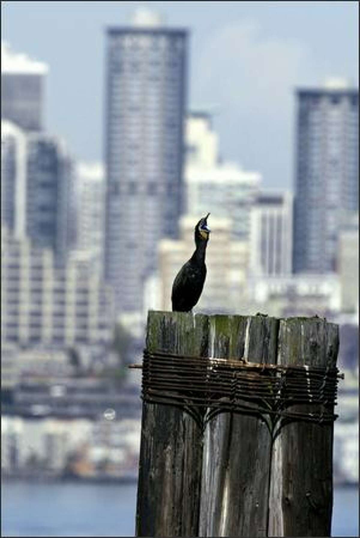 A double-breasted cormorant suns itself Tuesday on an old pier on Elliott Bay off West Seattle.