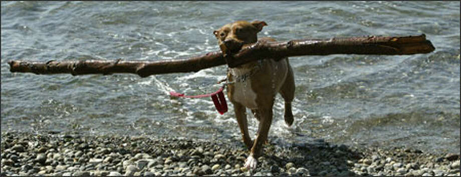 Tyra, a diminutive pit bull (yes, named after Tyra Banks), won't fetch just any old stick. In fact, she prefers logs tossed by her owner, Aleisha Mader, into the waters off Seahurst Park in Burien. Photo: Mike Urban, Seattle Post-Intelligencer / Seattle Post-Intelligencer