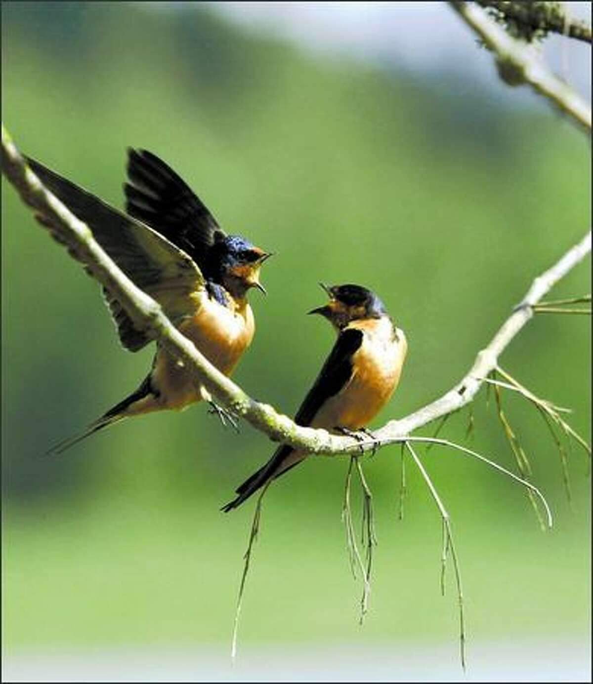 A pair of barn swallows get chatty in the River S Unit of the Ridgefield National Wildlife Refuge. The River S Unit offers a 4.2-mile auto tour route for birders as well as trails.