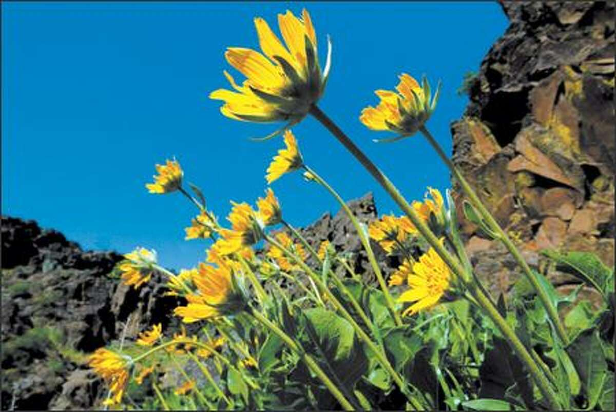 Balsamroot grows throughout the Columbia River Gorge area, blanketing Dog Mountain in mid-May.