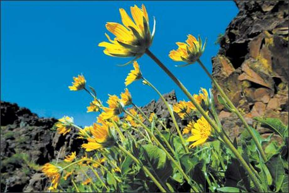 Balsamroot grows throughout the Columbia River Gorge area, blanketing Dog Mountain in mid-May. Photo: Paul Joseph Brown, Seattle Post-Intelligencer / Seattle Post-Intelligencer
