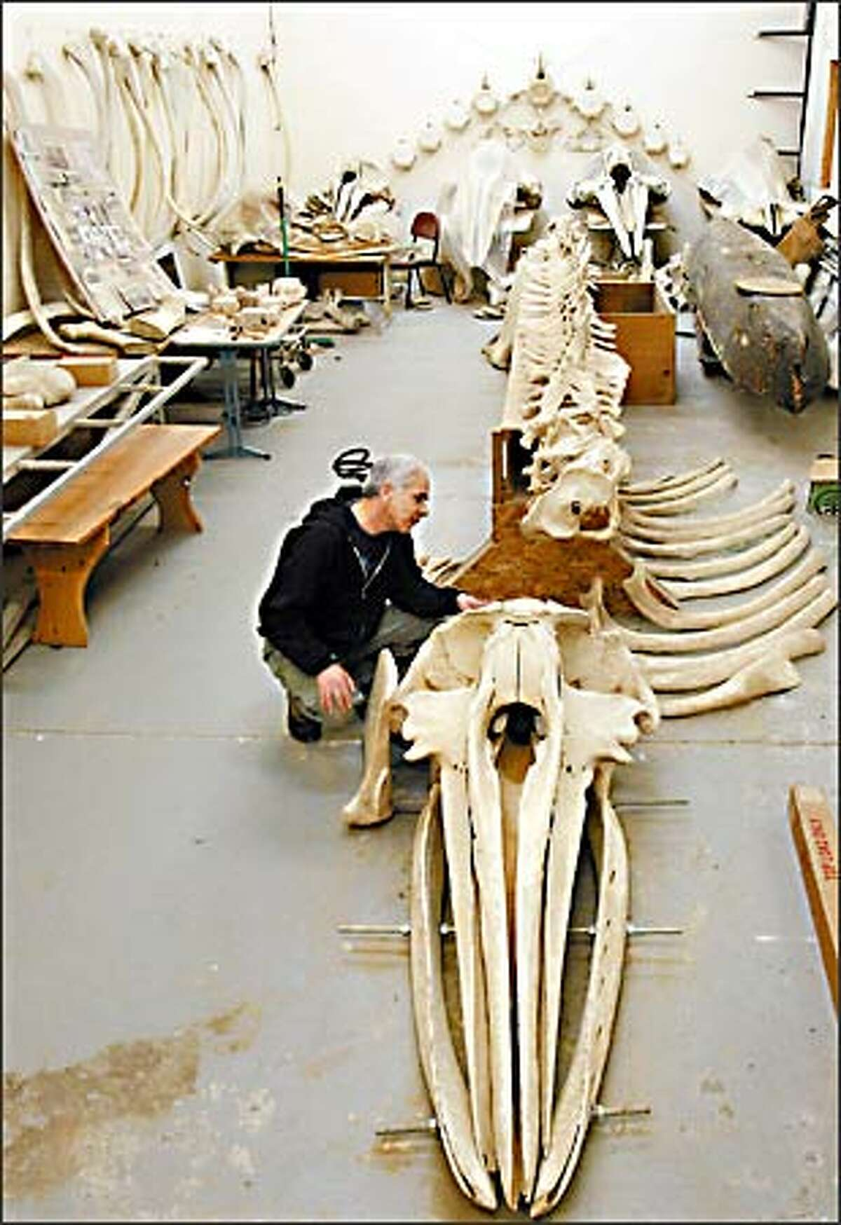 In the Makah high school wood shop building, Wayne Johnson examines the skull of a gray whale taken in 1999 by tribe members, with him as their captain. The skeleton is expected to be moved soon to the tribe museum.
