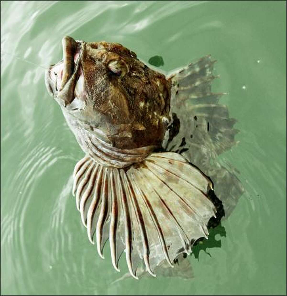 The lingcod's wide mouth and sharp teeth -- not to mention its strength -- make it a formidable predator. Though lingcod stocks have rebounded in inland waters, they're even more plentiful off the Washington Coast.