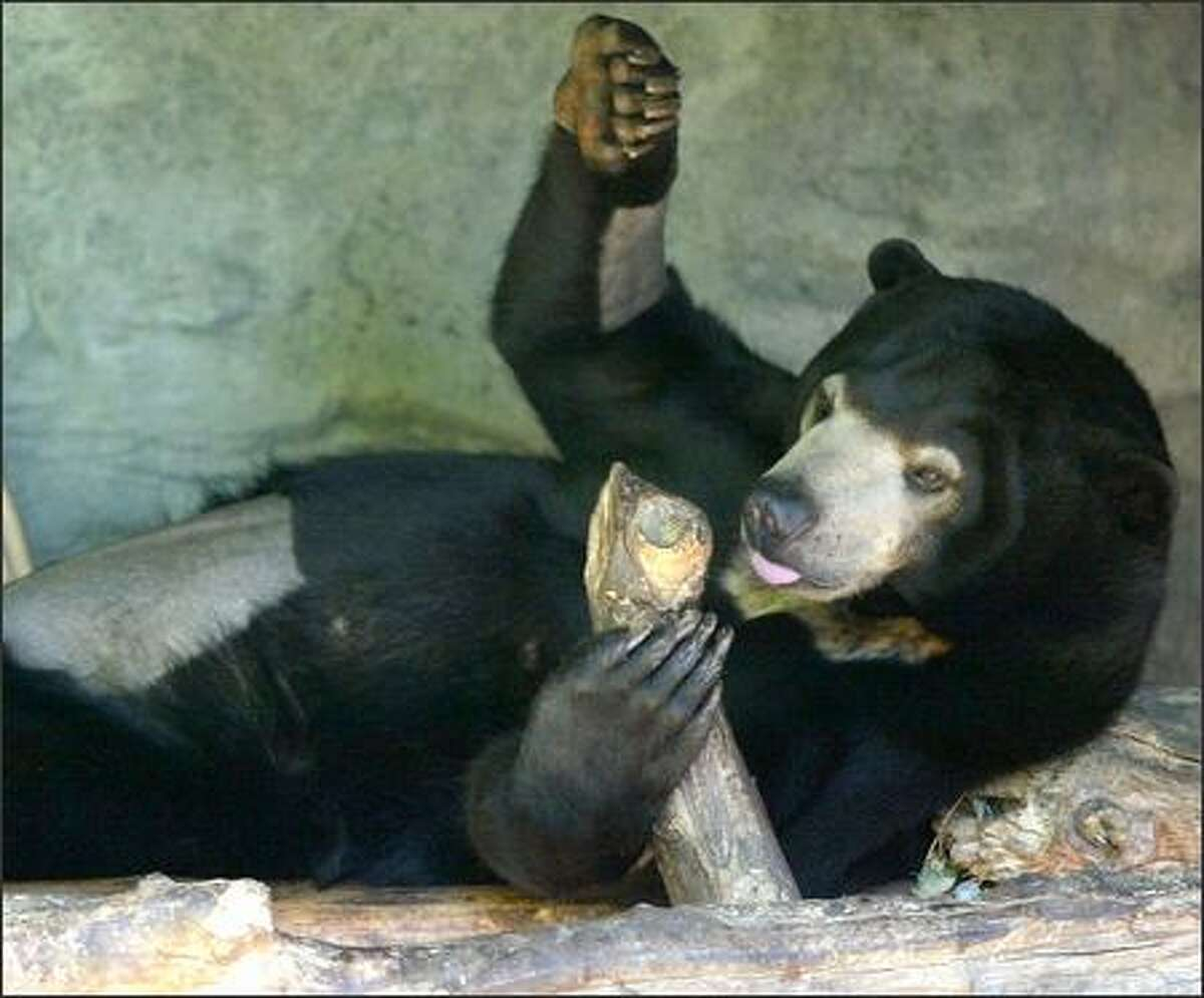 With a shaved belly and arms from her surgery, Suntil the 4-year-old Malayan sun bear reclines in her Woodland Park Zoo enclosure yesterday. On Monday she became the first Malayan sun bear in the world to be artificially inseminated.